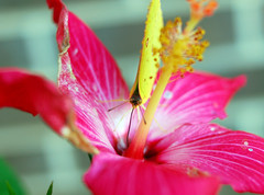 (GirlMeetsFitness) Tags: pink yellow butterfly bug bright peekaboo haveadrink