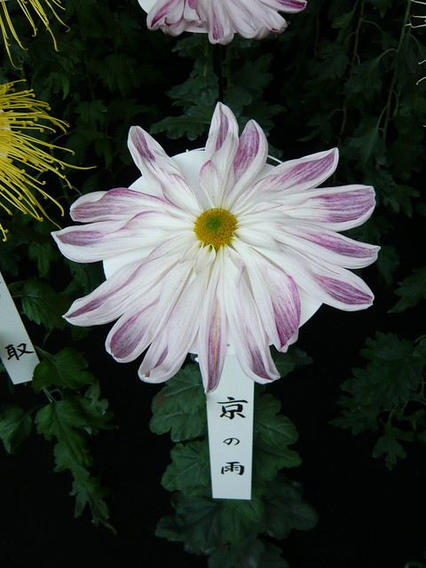 Pretty chrysanthemum