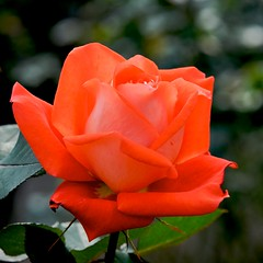 Orange Beauty (shinichiro*) Tags: flower macro rose japan nikon getty saitama 2008 crazyshin d3 rf kinchakuda platinumheartaward makroplanart1002zf ds23176 20090911 2009separt03 90719507
