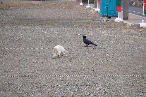 白猫 vs 鴉