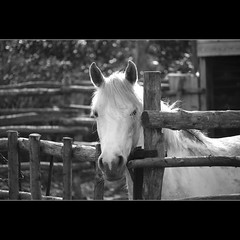 White horse (Sergio Verrecchia - Digital Imaging Technician) Tags: bw horse white blackwhite niceshot bn niko cavallo bianco bianconero shiningstar misterrogersneighborhood hiddentreasure inspiredbylove beautifulshot blackwhitephotos bej mywinners mywinner abigfave diamondclassphotographer nikond40x citrit exemplaryshots heartawards theunforgettablepictures goldsealofquality betterthangood theperfectphotographer goldstaraward arealgem highqualityimage sergioverrecchia screamofthephotographer doubledragonawards spititofphotograpy favoriteblackwhite doublyniceshot tripleniceshot chariotsofartists