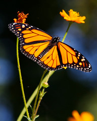 Nature's Miracle (Don Baird) Tags: flower nature butterfly bokeh miracle monarch soe naturesfinest malemonarch impressedbeauty top20butterflies eyegrabbers