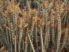 Euphorbia aeruginosa (DarinAZ) Tags: red architectural euphorbia spines euphorbiaceae dbg euphorbiaaeruginosa