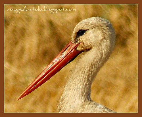 White Stork on Golden Fields