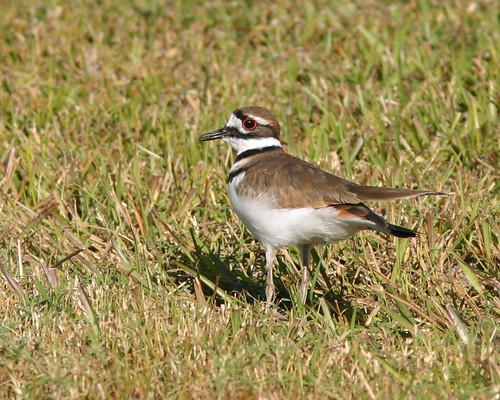 Killdeer 20081129