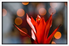 RED passion (paolo brunetti) Tags: light shadow red flower nature dof bokeh natura fiori fiore luce sfocatura profondita mywinners anawesomeshot excapturemacro goldenheartaward