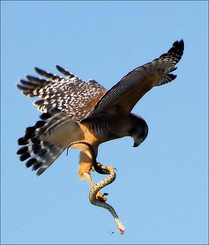 Hawk  & Snake