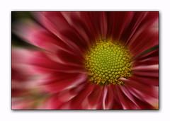 Floral zoom (flickrfrank2) Tags: flowers macro nature floral interestingness highfive amateurs 105mmsigmamacro naturesfinest flowerotica abeauty canoneos400d flickrfrank1 amateurshighfive invitedphotosonly flickrfrank2