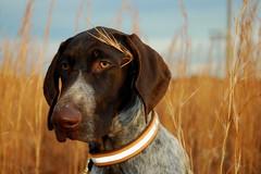 Veni Vidi Vici (MilkaWay) Tags: portrait face field grass puppy georgia head birddog athens tessa gsp germanshorthairedpointer 5monthsold clarkecounty deutschkurzhaar southeastclarkepark