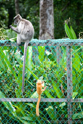 Silverred or Langur/Lutung Leaf Monkey