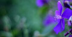 flora (ginnerobot) Tags: flower beautiful 50mm flora pittsburgh purple bokeh details curl phipps phippsconservatory viewonblack