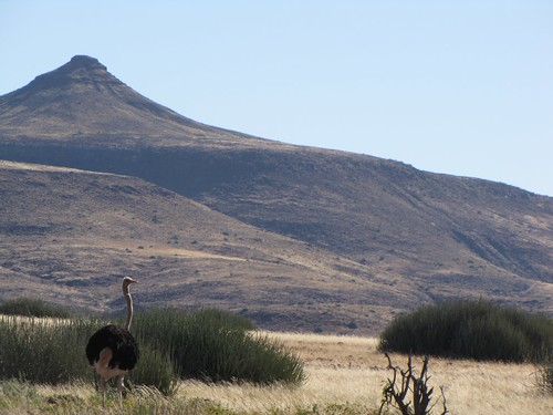 Damaraland: Ostrich
