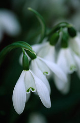 27810 (Clive Nichols) Tags: christmas winter white flower closeup bulb innocence pure thompson snowdrop galanthus purity lutescens fragilty clivenichols