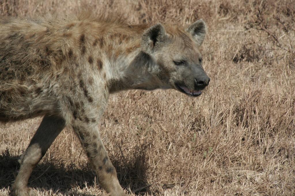 Spotted Hyena - Ngorongoro Crater, Tanzania