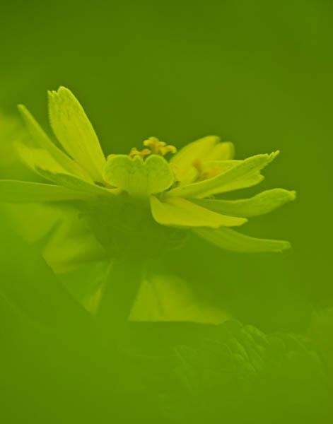 Zahara® Yellow Zinnia at Allen Centennial Garden in Madison Wisconisn