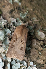 [2089] Heart and Dart- Agrotis exclamationis (linanjohn) Tags: france macro nature indre wildlife centre insects lepidoptera moths noctuidae noctuinae 2089 rosnay brenne agrotisexclamationis heartanddart nikond40 85mmmacrolens nationalmothweek