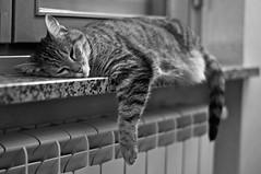 Tigre (Federica Ciaccia) Tags: italy cats cute love beautiful cat torino amazing nikon italia tiger tigers bella turin gatto gatti tigre bellissima tigri nikond90