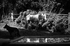 (iLana Bar) Tags: horse dog espelho cachorro cavalo pretoebranco sito imagem 2014 faisca espelhado cavalobranco ilanabar