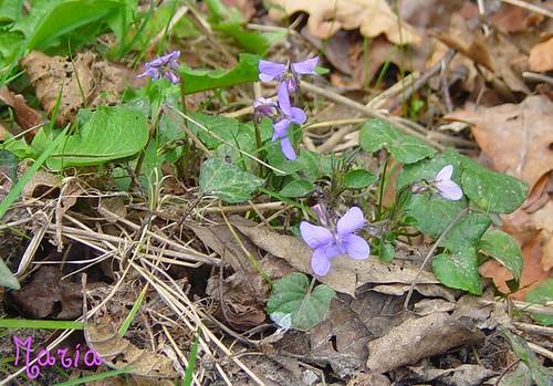 Violetas silvestres. Galer�a de Mar�a Matilla D�az