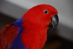 My pretty Girl (ineedathis) Tags: family fab pet bird parrot soe zuzu eclectus takeabow naturesfinest blueribbonwinner supershot mywinners anawesomeshot colorphotoaward impressedbeauty ultimateshot superbmasterpiece avianexcellence top20red theunforgettablepictures brillianteyejewel theperfectphotographer goldstaraward