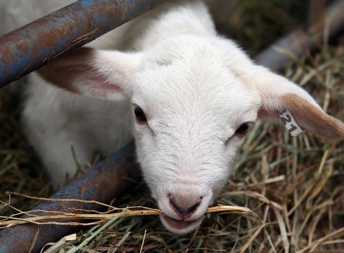 Lamb tasting straw