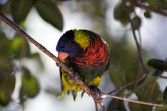 california new blue red tree green bird birds yellow canon easter polynesia march guinea is asia branch sitting sandiego sunday beak lorikeet parrot australia l nectar lory papuanewguinea papua wildanimalpark 70200 f28 australasia 30d canon70200f28lis loriinae