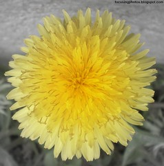 The Beginning Of Many (1greenthumb) Tags: plant flower macro nature yellow spring dandelion focalblackwhite