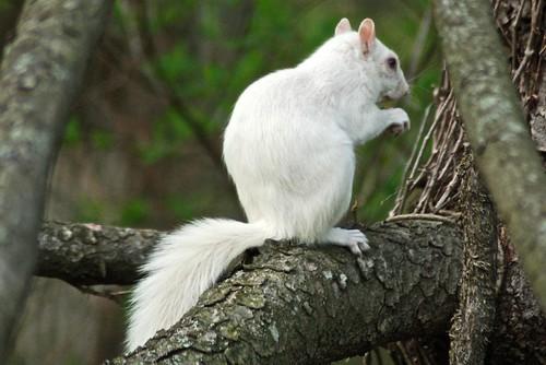 The White Squirrel