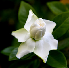 gardenia florida jasminoides