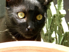If I hide behind the flower pot, will Pigey come back to play? (Annie in Beziers) Tags: france max cute sunshine blackcat kitten balcony rescued pinhead dreamon bziers littleterror waitingtopounce bestofcats anawesomeshot annieinbziers catsuluv