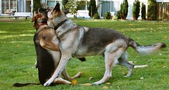 Full contact sport (_Zenji_) Tags: dogs netherlands amsterdam zen germanshepherd tenzin deutscherschaeferhund