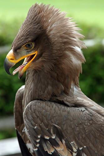 フリー画像 by:Fimb  [フリー画像] [動物写真] [鳥類] [猛禽類] [鷲/ワシ]