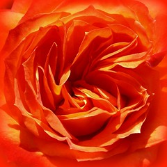 now that's ORANGE! (WithUibelong) Tags: orange flower rose ruffles petals rosa colorphotoaward flowercolors cmwdorange bestroseshot withuibelong