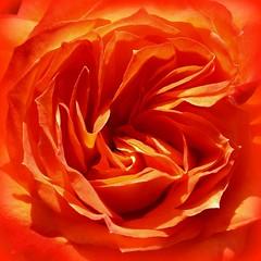 now that's ORANGE! (withUibelong) Tags: orange flower rose ruffles petals rosa colorphotoaward flowercolors cmwdorange bestroseshot withuibelong