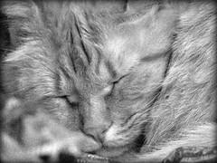 dormi dormi... (: panti :) Tags: cat blackwhite eyes bn occhi gatto biancoenero muso baffi