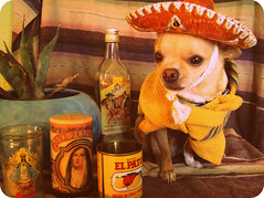 Mi Floydicito (EllenJo) Tags: arizona usa dog pet chihuahua vintage agave sombrero pup floyd digitalimage incostume ellenjo editedwithpicnik ellenjoroberts ellenjdroberts dogsindisguise vintagemexicanstyle cienporcientomexicano