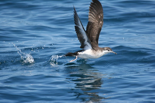 bird north carolina shearwater seabird audubons