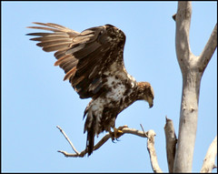 Juvenile Bald Eagle At Cedar Lake (vidterry) Tags: baldeagle fabulous picturesque magicmoments naturesbest birdwatcher enjoylife naturescall juvenilebaldeagle wowiekazowie naturephotoshp treeofhonor natureoutdoorlife earthanditsincredibleanimals nikonflickraward naturallymagnificent