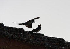 Swallows - training chicks to feed & fly (JB photographer) Tags: summer bird nature birds barn speed flight wing young fast explore migratory herefordshire swallow barnswallow visitors visitor hirondelle swoop hirundorustica swallows vite birdwatcher girigiri migrant skimming migrants rustica hirundo hirundine svala forkedtail beautifulbirds birdsarebeautiful summervisitor golodrina copyrightjonathanbarkerphotographer inkonjani nyankalema