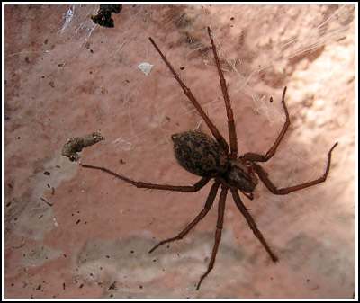 BrownSpider copy