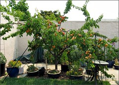 Blenheim apricot tree 2008