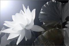 Lotus Flower IMG_5400-bw (Bahman Farzad) Tags: china sun india inspiration flower macro yoga tattoo thailand truth cambodia peace lotus blossom relaxing calming peaceful teacher sacred meditation therapy budha elegant inspirational spiritual simple hindu soulful heavenly buda tatto peacefulness devine lotusflower therapist lotusflowers lotuspetal lotuspetals soulfulflower lotusflowerpetals lotusflowerpetal