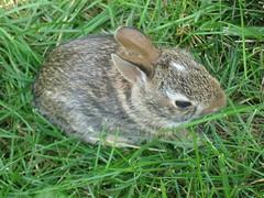 baby bunnies,  005 (cochran.maryann) Tags: bunnies wildlife babie babiebunnies