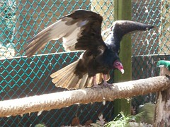 Tomasina spreading wings (leslieanderson5) Tags: ct raptors