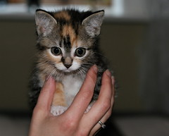 the little kitty i am taking care of these days.. (arny johanns) Tags: cute beautiful iceland pretty sweet gorgeous adorable kitty arnyjohanns impressedbeauty