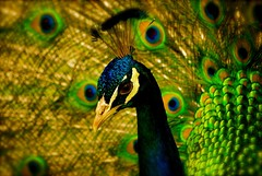 peacock (alternativefocus) Tags: cornwall pentax peacock pentaxk10d alternativefocus