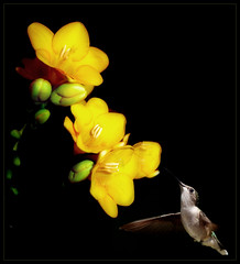 within reach  (jeri leandera) Tags: wild flower bird nature hummingbird hummingbirdonflower flickrchallengegroup flickrchallengewinner