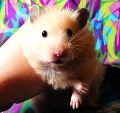 Keeping paws crossed for dear BOO... :( (pyza*) Tags: pet cute animal golden rodent critter hamster syrian hammie chomik