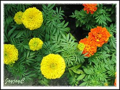 African and French Marigold species: Tagetes erecta 'Antigua Yellow' and Tagetes patula 'Inca Orange' in our tropical garden, July 2008