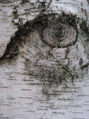 eye on tree (louisa_catlover) Tags: urban tree eye texture strange wow garden pattern melbourne odd bark unusual peculiar melbourneuniversity
